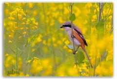 The Red-backed Shrike (Zahoor-Salmi) Tags: pakistan macro nature birds animal canon photo natural action wildlife punjab salmi walpapers bhalwal natureselegantshots zahoorsalmi thewonderfulworldofbirds