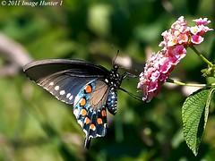 Black Swallowtail - Bayou Courtableau, Louisiana (Image Hunter 1) Tags: pink blue orange flower green nature yellow butterfly leaf louisiana bokeh bayou swamp bloom greenery marsh lantana blackswallowtail t2i bayoucourtableau canont2i