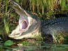 """Awesome gator • <a style=""""font-size:0.8em;"""" href=""""http://www.flickr.com/photos/63845265@N04/5813146060/"""" target=""""_blank"""">View on Flickr</a>"""