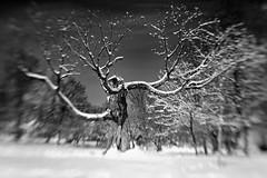 Tree through Lensbaby B&W (glhs279) Tags: winter bw snow blancoynegro lensbaby blackwhite newjersey essexcounty nj montclair composer andersonpark uppermontclair