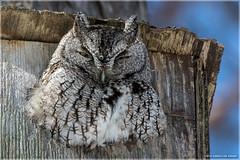 Eastern Screech-Owl (Chris Lue Shing) Tags: winter ontario canada tree bird nature forest box raptor aurora birdofprey easternscreechowl nikonafs70300f4556gvr afsnikkor70300mm14556g nikond7100 chrislueshing