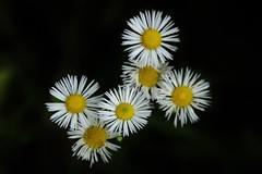 Wild Flower (Hugo von Schreck) Tags: hugovonschreck flower blume blüte macro makro canoneos5dsr tamron28300mmf3563divcpzda010 luetzel hessen deutschland onlythebestofnature