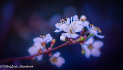 delicacies of Spring (frederic.gombert) Tags: flower black color colors red pink blue light sun sunlight macro nikon d810 bloom blossom blooming flowers