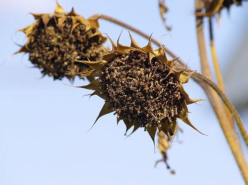 Sunflowers In Winter