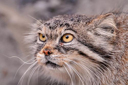 Female Pallas cat