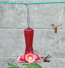 canada hummingbird bc britishcolumbia ghosttown hummingbirds fishcannery namu centralcoastofbritishcolumbia namubc