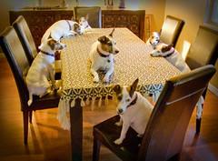 Seven Basils (ApplesInMyBra) Tags: portrait dog pet dogs 7 terrier seven clones multiples basil 365 jackrussel fugger fgr fuggers manmetbril 365project luckynumber7 thelittledoglaughed flickrgrouproulette grouproulette 365daysofmydog therogueplayers sevenbasils