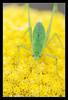 Green little Cricket (matt :-)) Tags: macro verde green nature yellow insect natura cricket giallo mattia insetto ensifera grillo naturesfinest 105mmf28dmicro gryllidae nikond80 naturewatcher macrolife consonni mattiaconsonni geo:lat=4565901098586457 geo:lon=9365899087277969