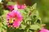 Yummy Petunias (hotes trinkets/DaydreamingKat) Tags: pink moth insects petunias humming hummingbirdmoth buzzing summergarden straightfrommycamera nocolorsadded sonyalphadslra700 clearwingsphinxmoth absolutelynatural yummypetunias