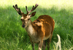 Deer Shade. (natureboy77) Tags: cute grass meadow deer shade antler dragongoldaward goldsealofqualityaward colorsoftheheart addictedtonature atmphotographyaward