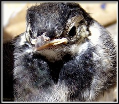 Pied Wagtail Fledgling. (Church Mouse 07) Tags: uk summer bird nature kodak wildlife july british fledgling piedwagtail awesomeshot wildbird abigfave z8612is alittlebeauty churchmouse07