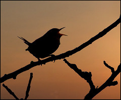 A Song at Twilight (jo92photos) Tags: wren birdsong twilight silhouette singing warble sunset bird ©allrightsreserved uk s100fs jo92photos england jennywren platinumheartawards platinumheartaward countrylife rural countryside wildlife wildlifecountryside ngc thechallengegame challengegamewinner 15challengeswinner