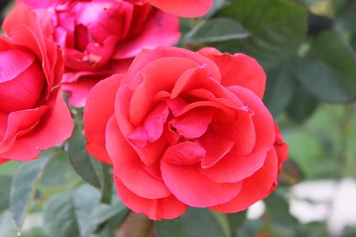 Morden Fireglow rose