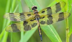Halloween Pennant (SouthWestDreams ) Tags: dragonfly pennant halloweenpennant odonat