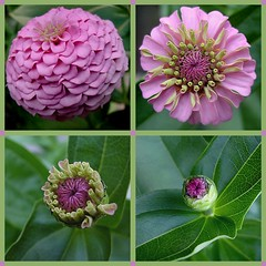 flower in various stages of maturity