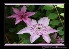 The Old and the New (chetty3) Tags: pink flowers nature canon garden petals clematis sigma105mmf28 eos40d