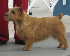 English Norwich Terrier