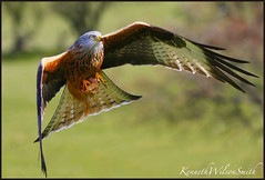 Red Kite With Sunday Roast Gigrin Farm (kennethwilsonsmith) Tags: soe birdwatcher coth supershot speca