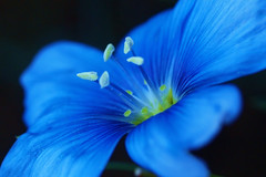 (Agrakos) Tags: blue flower macro nature beautiful petal breathtaking gmt excellence simplyflowers otw omot colorphotoaward naturewatcher macromarvels macrolife simplysuperb flickrestrellas macroflowerlovers quarzoespecial mimamorflowers macrosdenaturaleza breathtakinggoldaward amazingmacros extremeflowermacro superamazingmacrosaward artofimages ausdernaturoutofnature greatshotss photographersworldbestfriends bestcapturesaoi breathtakinghalloffame