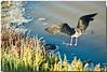 I miei amici degli stagni. (Roberto Click) Tags: life sardegna nature fauna nikon sardinia natura cagliari cavaliereditalia stagno zoneumide naturaincontaminata nikond80 nginationalgeographicbyitalianpeople artedellafoto floraefaunadellasardegna