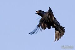 Purple Martin in flight (David Seibel) Tags: wild sky bird nature birds fauna canon flying wildlife flight feathers ornithology avian purplemartin prognesubis davidseibel