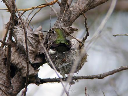 Anna's Hummingbird nest baby c02091