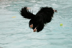 Water Nut (Anda74) Tags: pool june jump colorado diving explore bordercollie ouzo canonef70200mmf4lusm