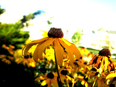 yellow (lauren welter) Tags: flowers lake color yellow bright vibrant vivid elkhart wilting