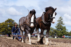 Clydesdale's Ploughing. (Branxholm) Tags: old horse tractor history classic rural trek vintage wagon shoe diesel antique farm sony country rally farming working canterbury restored enthusiast plow petrol gasoline agriculture alpha dslr harness heavy plowing plough draft timers kerosene tilling hydraulic implements trattore draught ploughing cultivating reins reiens