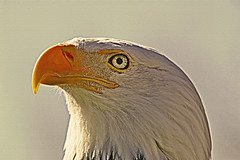 Big Bird (judo_dad1953) Tags: portrait bird nature eagle pentax wildlife bald raptor ecomuseum justpentax