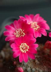 Rebutia violaciflora-2009 (asac_cactus) Tags: cactus suculent suculenta cactcea asac
