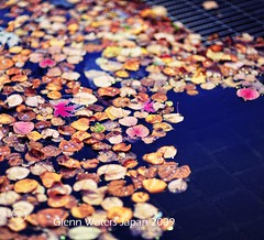 Floating Leaves.   Glenn E Waters. Over  10,000 visits to this photo.   Thank you. (Glenn Waters in Japan.) Tags: autumn fall leaves japan nikon explore getty float  d700 nikond700  glennwaters travelsofhomerodyssey