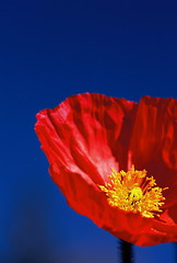 tricolore (Anne Keuper) Tags: blue red macro yellow 35mm canon flora blauw slidefilm nophotoshop geel rood bloemen klaproos eos3 poppie annekeuper