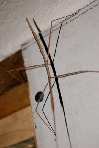 stick bug