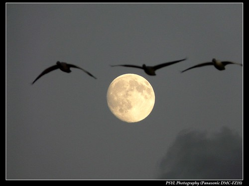 Snow Geese and Moon