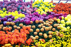 Rows of Color (MissMyloko) Tags: park autumn ontario canada fall spider hamilton mum anemone chrysanthemum gage pompom cultivar