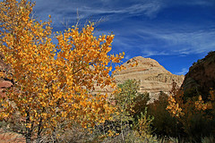 Burning Tree, Capitol Reef (Bob Palin) Tags: autumn 15fav usa tree fall utah nationalpark sandstone capitolreef potofgold 100vistas instantfave ut24 orig:file=2009102617078 nopin