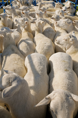 sheep penned for dog herding