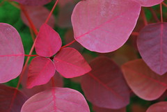 Leaves (mynameisharsha) Tags: india plant green nature leaves flora nikon bangalore greenery delicate seedlings d60 1855mmf3556gvr mynameisharsha