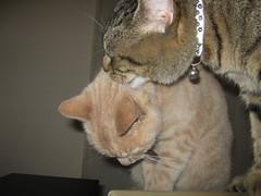 IMG_2405 (gemmalouevans) Tags: sleeping cats ginger tabby kitties felines washing