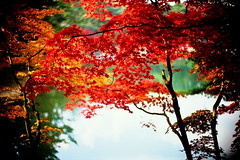 folding screen of nature (moaan) Tags: life leica autumn red orange color green leaves 50mm maple pond dof bokeh f10 momiji japanesemaple kobe cover ut