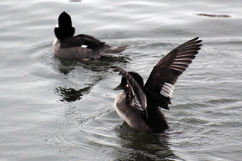 Bufflehead Ducks, Female