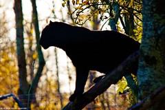 Cons day and black panther (Olympe B.) Tags: black felin panthere felins parcdesfelins sonya550