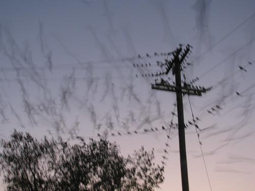 Grackle Invasion