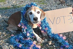 Vote for Nacho (rikkis_refuge) Tags: rescue angus joey volunteers contest vincent taco tess vote nacho sanctuary funnyfarm nokill rikkisrefuge catcharity voteforvincent theanimalrescuesitecontest