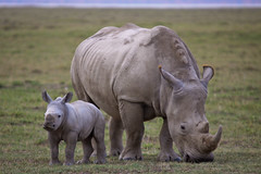 Rhino Mother and Daughter (mikel.hendriks) Tags: africa english dutch mouth geotagged nationalpark kenya wildlife wide safari rhino motheranddaughter mistranslation whiterhinoceros lakenakuru subspecies width ceratotheriumsimum supershot southernwhiterhino specanimal squarelippedrhinoceros ceratotheriumsimumsimum canoneos50d wijd goldstaraward sigma120400mmf4556apodgoshsm