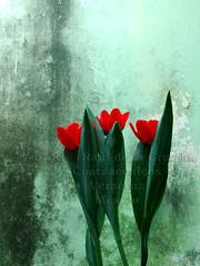 Tulipanes rojos ([[^Ral^]]) Tags: flowers naturaleza flores wall mexico puerto pared tulips natural flor pueblo ciudad natura sur veracruz golfo tulipan sureste coatza tulipanes coatzacoalcos raulfenix ralfenix