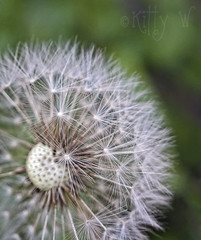 Wishes (Kitty W) Tags: macro garden weed dandelion seeds seedhead wishes dandelionclock dandelionseeds dandelionseedhead naturethroughthelens