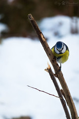 Eurasian blue tit on a branch (Cloudtail the Snow Leopard) Tags: meise vogel tier bird animal blaumeise cyanistes caeruleus parus eurasian blue tit winter schnee snow zoo tiergarten nürnberg nuremberg eurasianbluetit