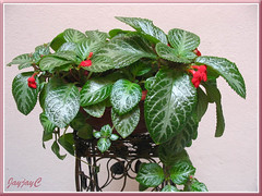 Our potted Episcia cupreata 'Frosty' (Flame Violet, Carpet Plant), on a metal flower stand, June 9 2009